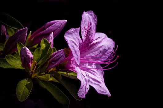 Бесплатные фото Azalea,цветы,цветок,цветочный,цветение,цветочная композиция,флора,чёрный фон