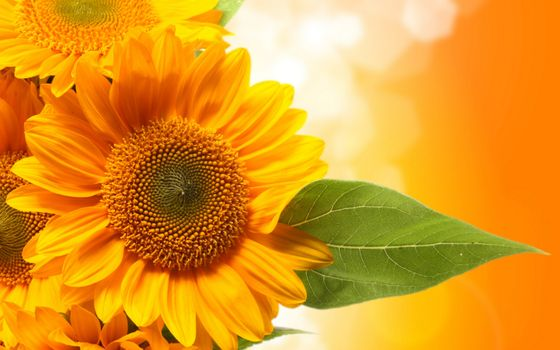 Photo free sunflower, close-up, Fox