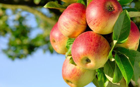 Фото бесплатно яблоко, фрукт, природа