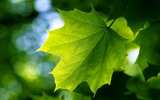 Заставки Клен, зеленый, листья