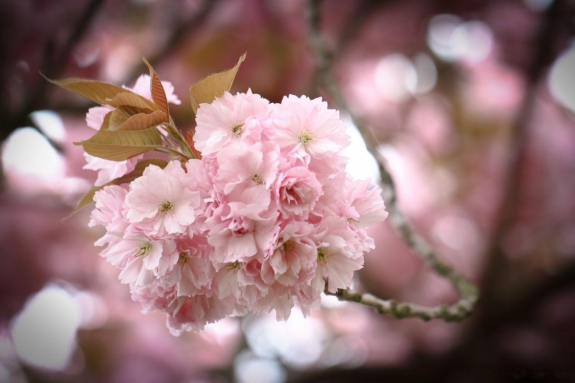 Веточка сакуру · бесплатное фото