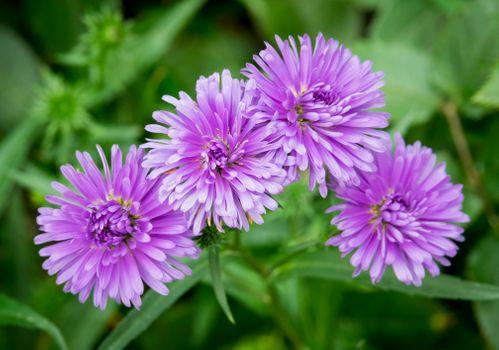 Заставки Purple Asters,цветы,флора