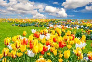 Фото бесплатно тюльпаны, природа, поле