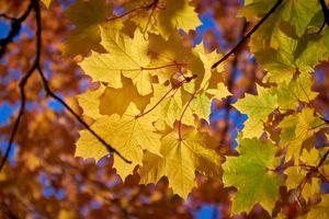 Заставки осень, осенние листья, осенние краски, краски осени, природа, ветки деревьев