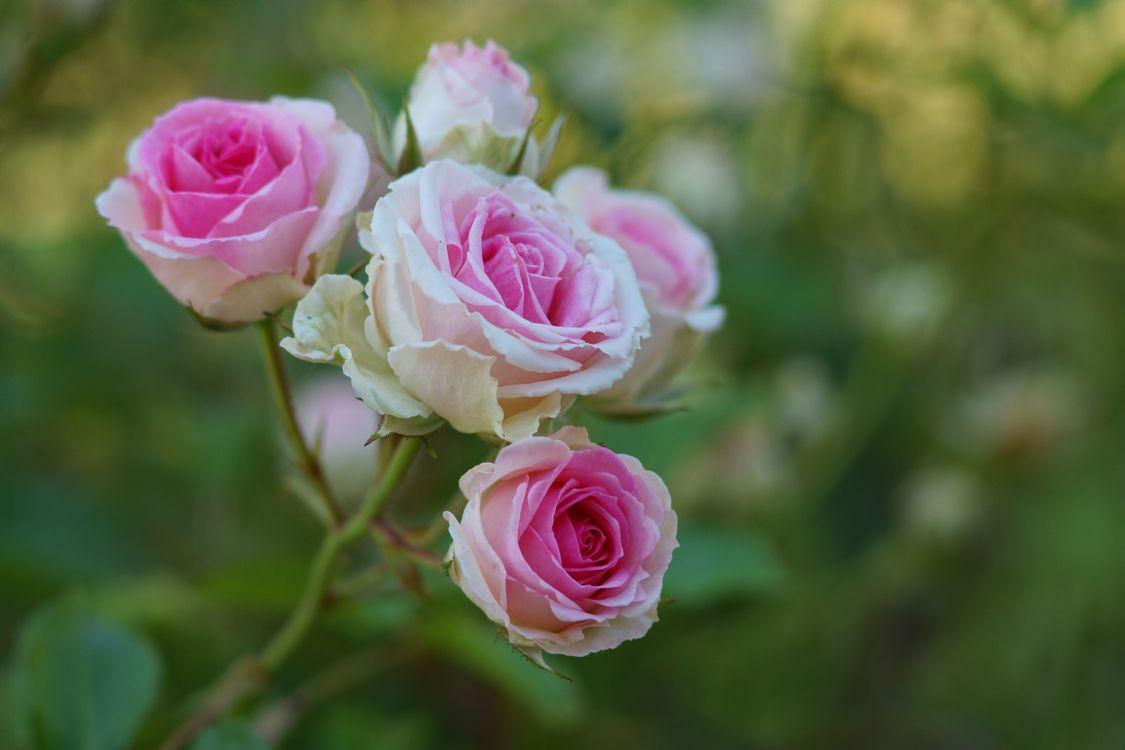 Фото бесплатно флора, ветки, розы - на рабочий стол