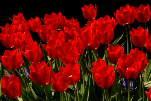 Ярко-красный тюльпаны · бесплатное фото