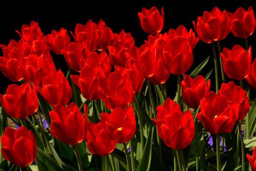 Ярко-красный тюльпаны