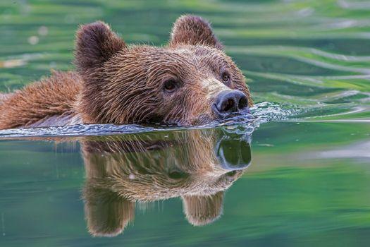 Заставки вода, бурый медведь, плывёт
