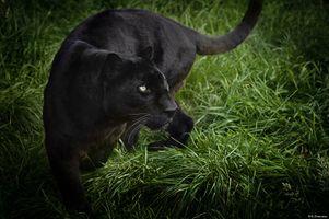 Фото бесплатно черный леопард, трава, кошка