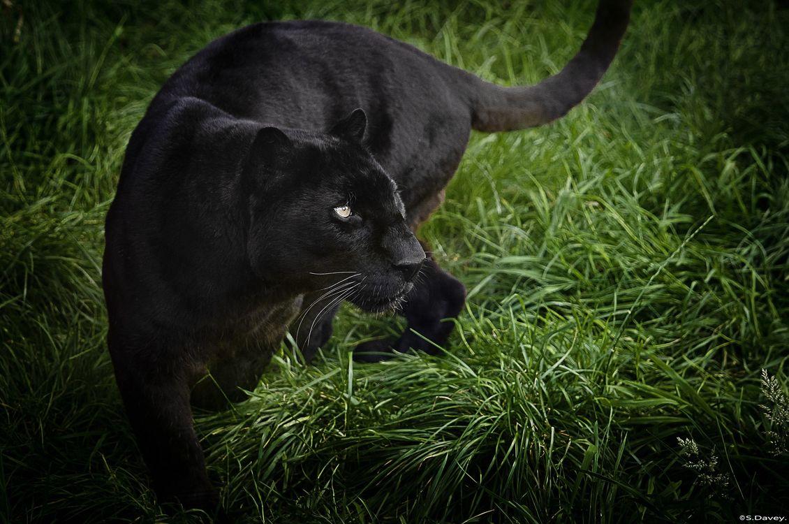 Фото бесплатно черный леопард, трава, кошка - на рабочий стол