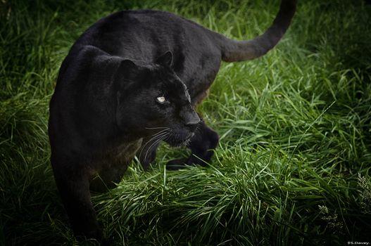 Photo free black leopard, grass, cat