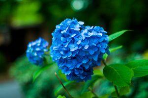 Фото бесплатно садовый цветок, гортензия, кустарник
