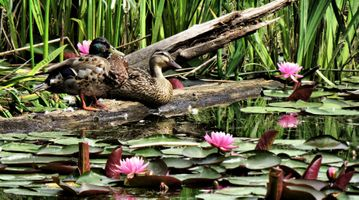 Фото бесплатно утки, водоплавающие, пруд