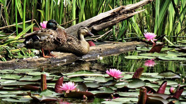 Бесплатные фото утки,водоплавающие,пруд,водоём,водяные лилии,цветы,природа
