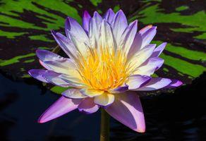 Бесплатные фото водоём,водяная лилия,цветок,флора,макро,водяные лилии