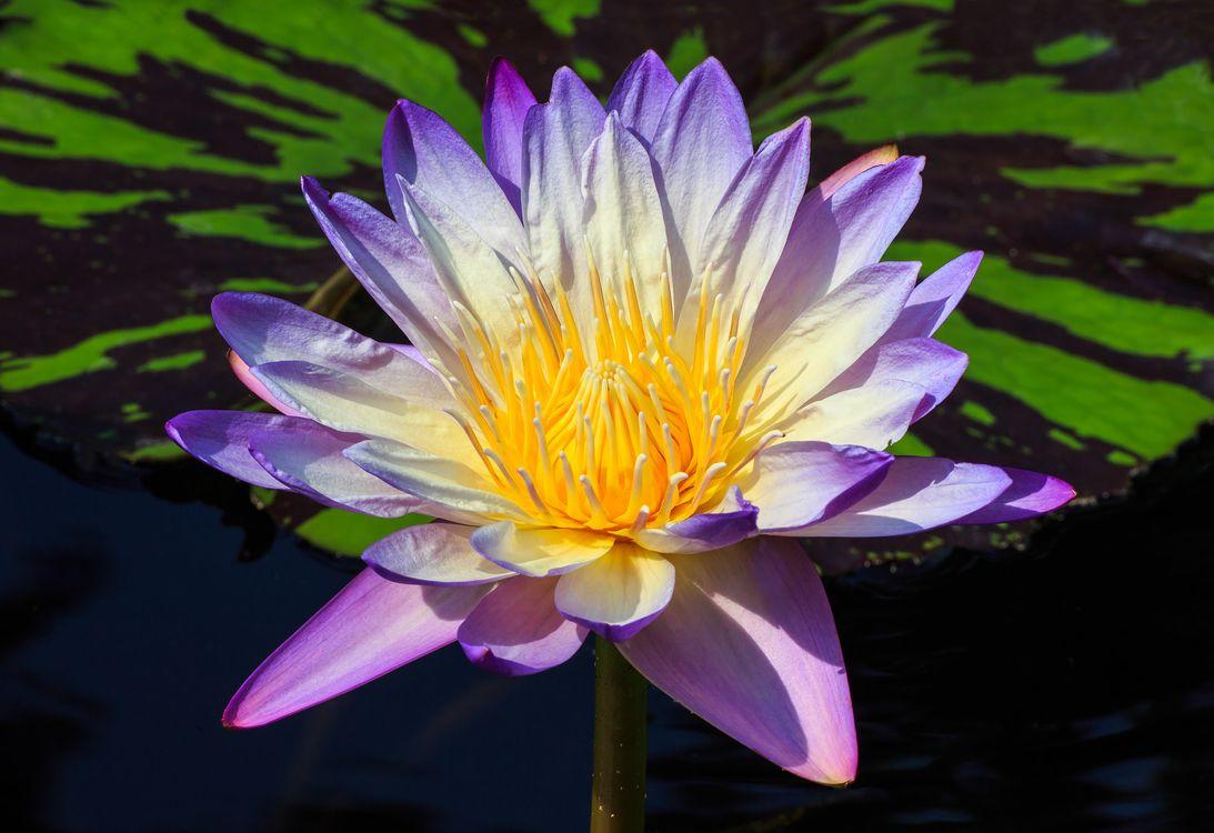 Фото бесплатно водоём, водяная лилия, цветок, флора, макро, водяные лилии, цветы