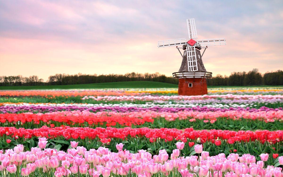 Фото бесплатно тюльпаны, мельница, архитектура - на рабочий стол