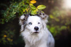 Белая аусси под ягодами
