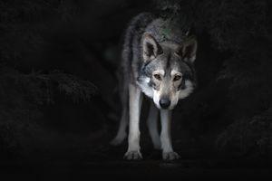 Волкособ в полумраке