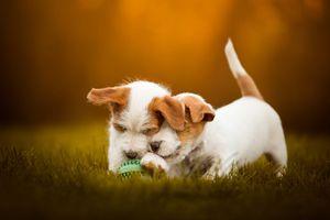 Два щенка и мячик · бесплатное фото