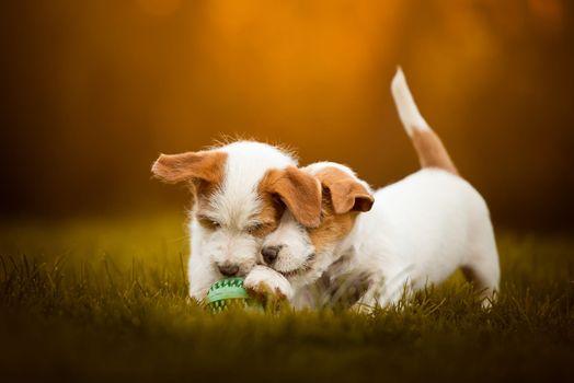 Два щенка и мячик