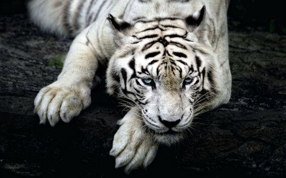Белый тигр · бесплатное фото