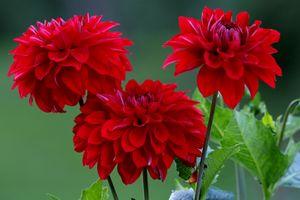 Заставки георгины, цветы, цветок