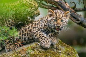 Фото бесплатно лицо, большая кошка, молодой леопард