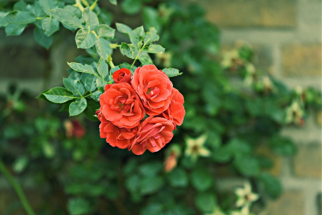 Фото бесплатно красные розы, листья, лепестки - на рабочий стол
