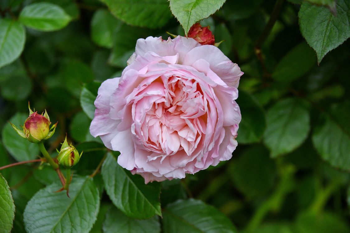 Фото бесплатно цветок, цветы, фиолетовые розы - на рабочий стол