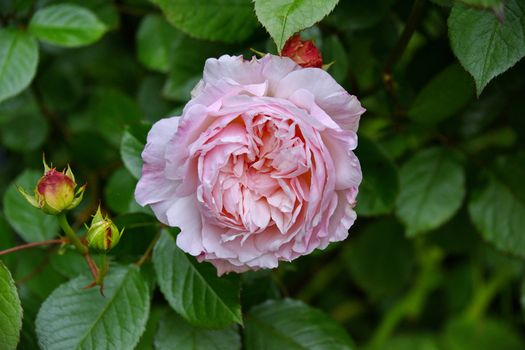 Фото бесплатно цветок, цветы, фиолетовые розы