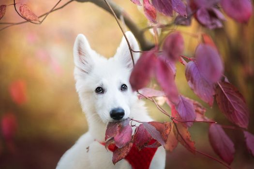 White puppy and autumn purple