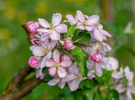 Лепестки яблони