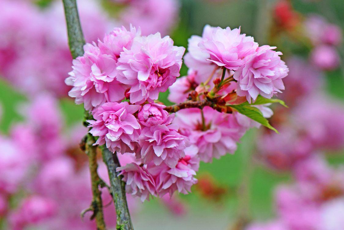Цветущая сакура · бесплатное фото
