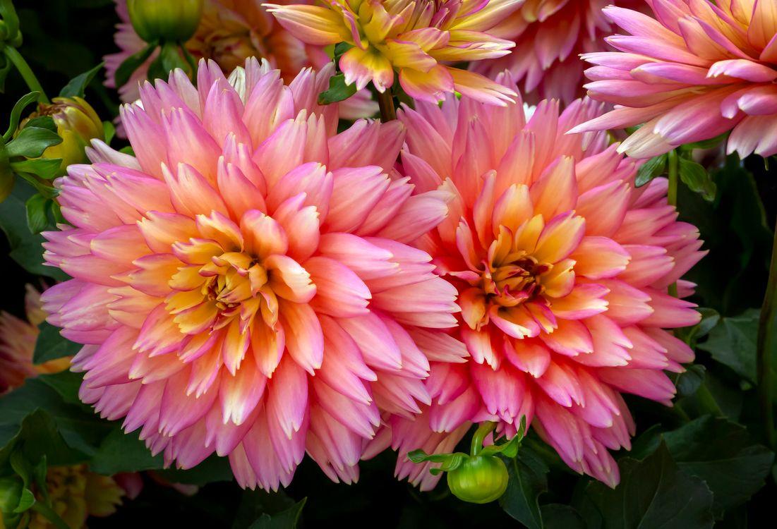 Фото бесплатно макро, флора, георгин - на рабочий стол