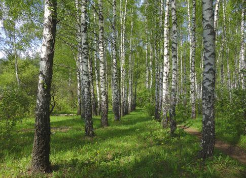 Заставки лес,деревья,тропинка,лето,природа,берёзы,пейзаж