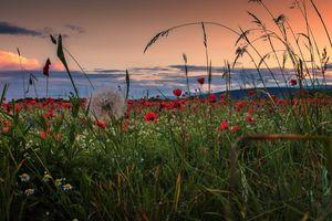 Photo free poppy, field, sunset