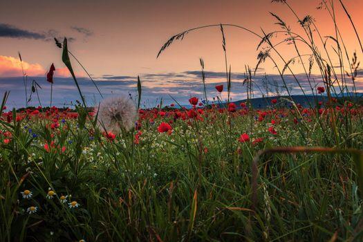 Фото бесплатно мак, поле, закат