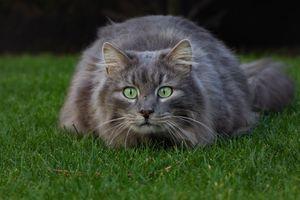 Бесплатно кошка, кот фото телефон на