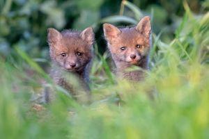 Фото бесплатно лисята, лисёнок, Рыжая лиса