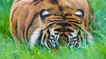Фото бесплатно тигр тигры, фон, природа