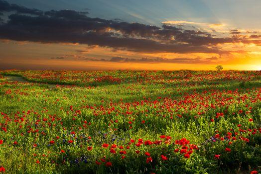 Photo free flower field, bloom, sunset
