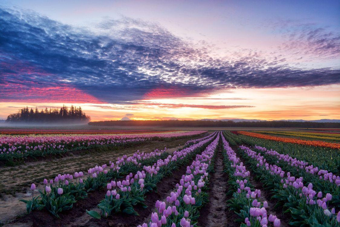 Фото бесплатно природа, цветы, тюльпаны - на рабочий стол