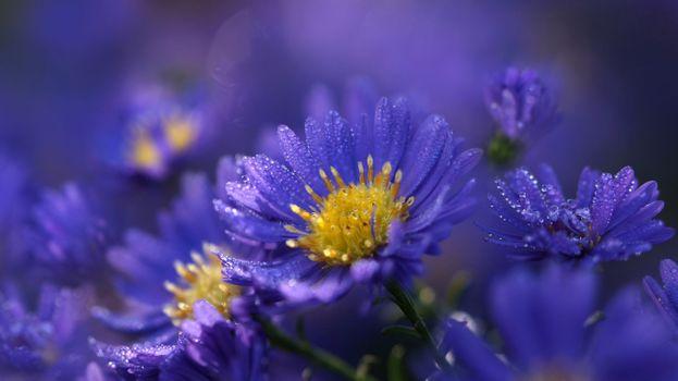 Photo free macro, flowers, Herfst asters