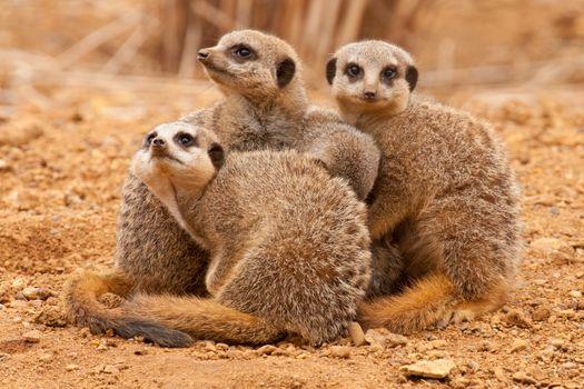 Заставки meerkat, suricate, собрались вместе, suricata, suricatta, сурикаты, сурикат, meerkat family, животные
