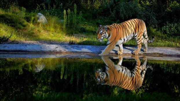 Тигр отражается в воде