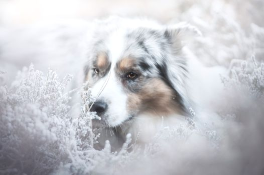 Photo free Australian Shepherd, Aussies, photograph