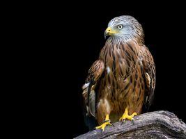 Фото бесплатно орел, птицы, хищник