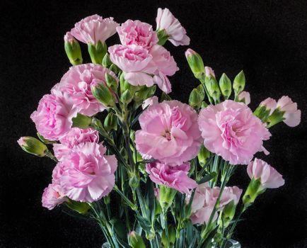 Фото бесплатно гвоздики, гвоздика, цветы