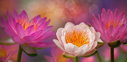 Зацветающие лотосы редкой красоты